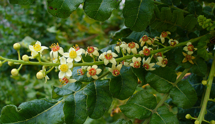 Harika bitki Boswellia Serrata