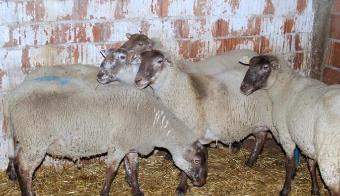 Fransız koyunları Bursa'da
