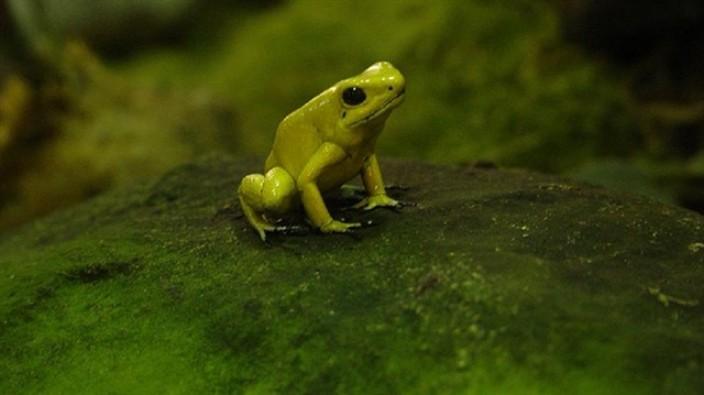 Fosforlu kurbağa keşfedildi