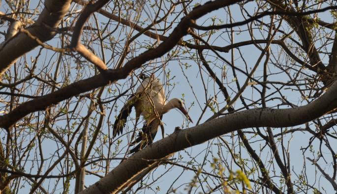 Bursa'da ağaçta asılı kalan leylek için ekipler seferber oldu