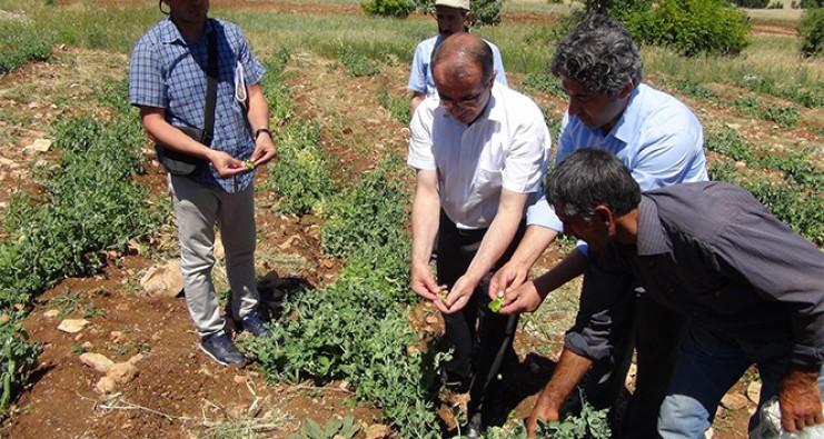Diyarbakır'da ilk kez bezelye üretildi