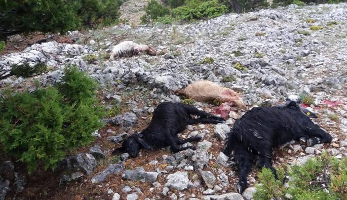 Karaman'da yıldırım düşmesi sonucu 15 keçi telef oldu