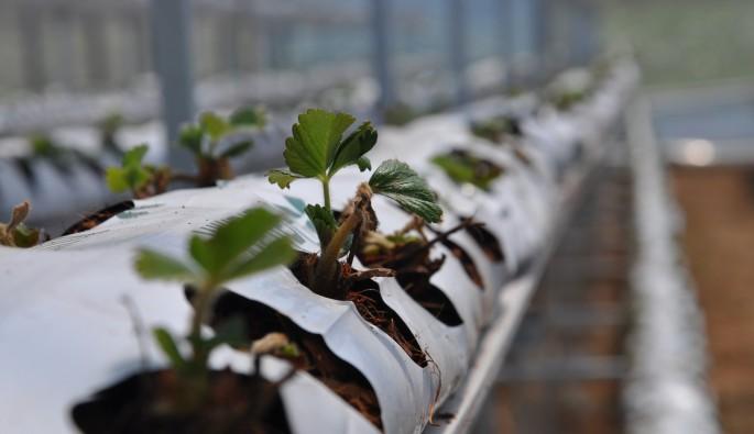 Bursa'da topraksız çilek yetiştiriliyor