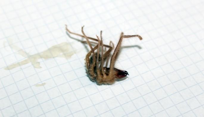 Sarıkız örümceği korkulu rüyaları oldu