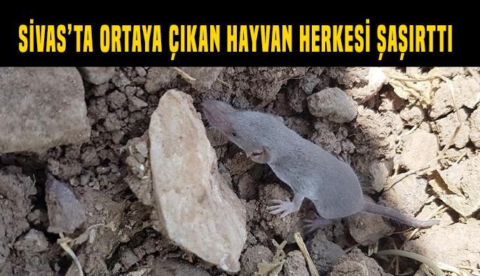 Sivas'ta ortaya çıkan canlı herkesi şaşırttı