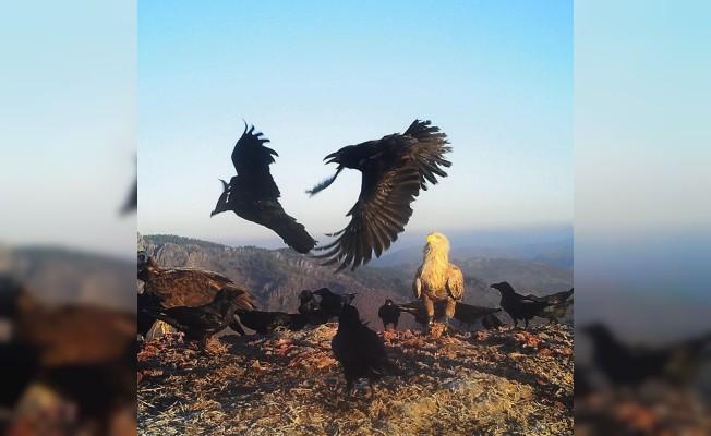 Kara Akbaba'nın nesli tükenmekten kurtarıldı