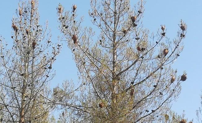 Ormanlar böcek istilasına uğradı