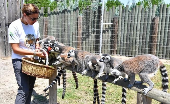 Yaramaz lemurlar doğal besleniyor