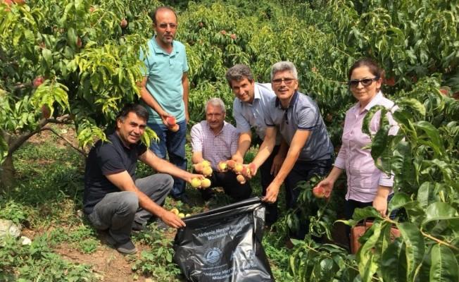 Akdeniz Meyve Sineği ile poşetli mücadele