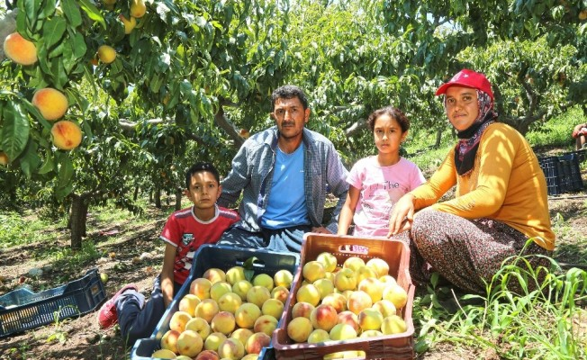 Başkan Tarhan'dan Mezitli'deki şeftali üreticilerine destek