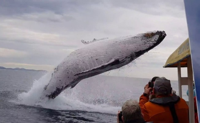 Kambur balinanın havada muhteşem şovu