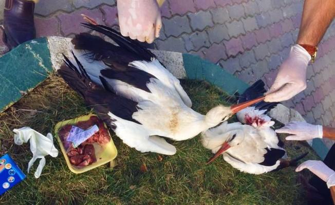 Yaralı 3 leylek kurtarıldı