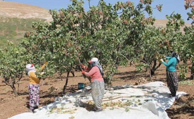 Siirt'te fıstık hasadı sürüyor