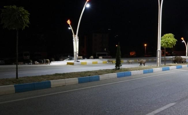 Tunceli'de merkeze inen yaban domuzları görüntülendi