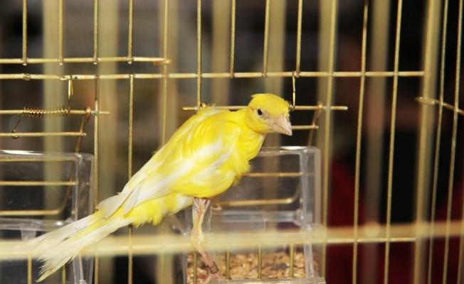 Rengarenk kafes kuşları görücüye çıktı