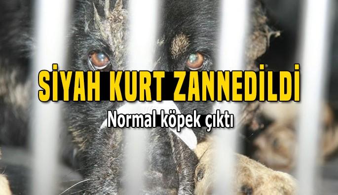 """""""Siyah kurt"""" zannedildi normal köpek çıktı"""