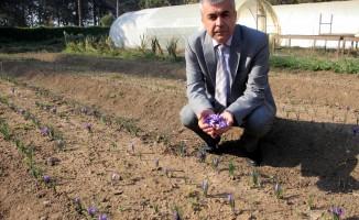 Dünyanın en pahalı bitkisi Bursa'da