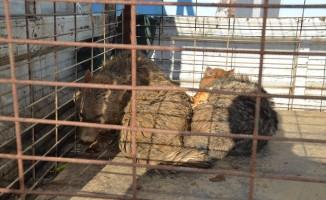 Bursa'da gölete düşen çakalları kurtarma operasyonu