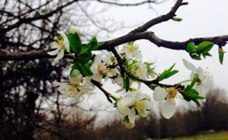 Bursa'nın dağ yöresinde ağaçlar erken çiçek açtı