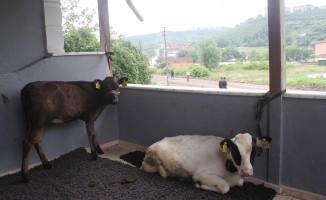 Ahırı su basınca hayvanları evinin balkonlarına taşıdı