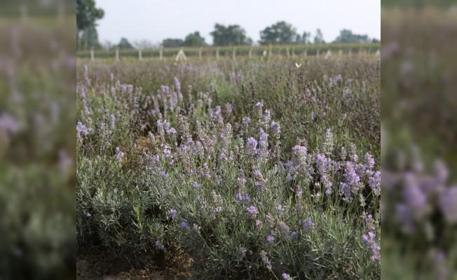 Bolu'da 20 dönümlük arazide 'Tıbbi Aromatik Bitkiler Bahçesi' kuruldu