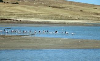 Flamingolar beslenmek için Yozgat'taki Gelingüllü Barajı'na geldi