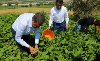 İnsuyu'nda fasulye hasadı devam ediyor