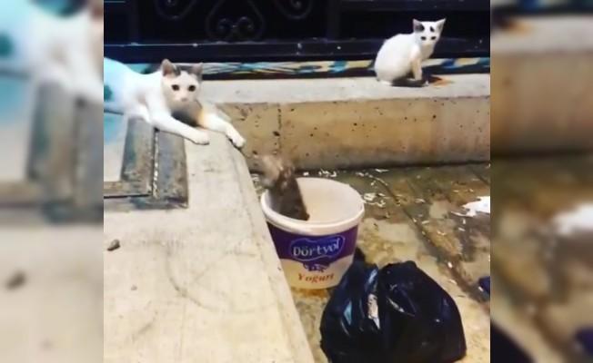 Fareden kedilere gövde gösterisi