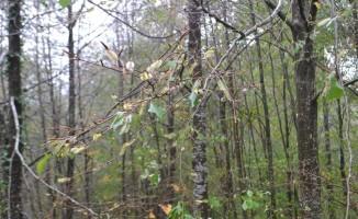 (Özel Haber) Bursa ormanlarını tehdit eden böcek