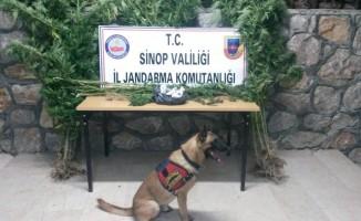 Sinop'ta esrar operasyonu