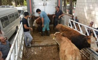Altınözü'nde genç çiftçilere 85 büyükbaş hayvan dağıtıldı