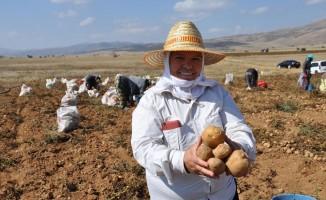 Köse'de patates hasadı tarla günü yapıldı