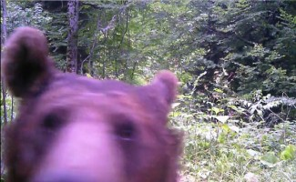 Küre Dağlarında yaşayan ayılar foto kapan ile böyle görüntülendi