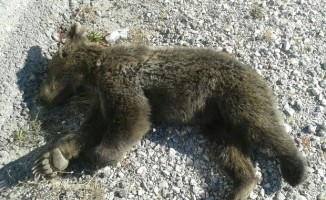 Aracın çarptığı yavru ayı sergileniyor