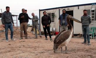 İşçilerin duyarlılığı pelikanın hayatını kurtardı