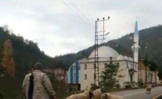 Koyunların boynuzlu aile kavgası kameralarda