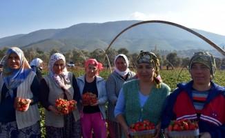 Muğlalı çiftçinin yeni gözdesi 'Çilek'