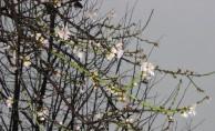 Bursa'da çiçek açan bademlere kar yağdı