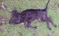 Çift başlı doğan buzağı öldü