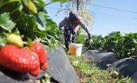 Bursa'da 'Kırmızı elmas'ta erken hasat