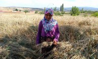Kütahya'da hububat hasadına yağış engeli