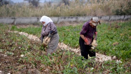Bursa Karacabey'de pancar hasadı devam ediyor