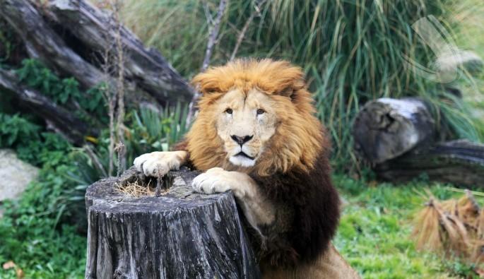 Bursa Hayvanat Bahçesi'nde bir aslanın günde ortalama 3,5 kilo et yediği belirlendi