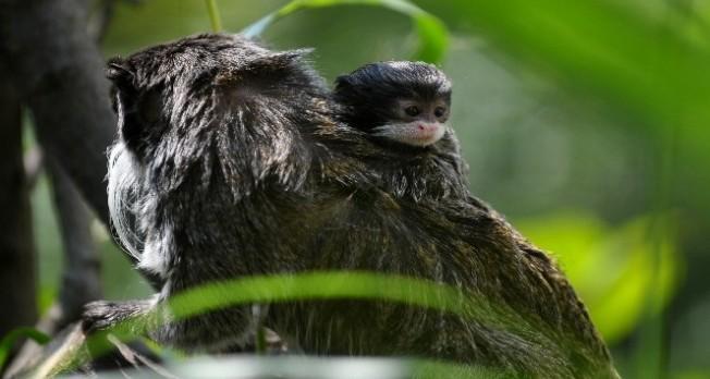 Bursa'nın sakallı maymunları yavruladı