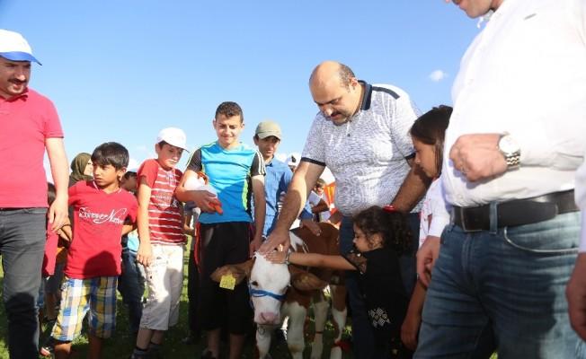 3. Geleneksel Çermik Festivalinde Erzurum'un en güzel buzağıları yarıştı