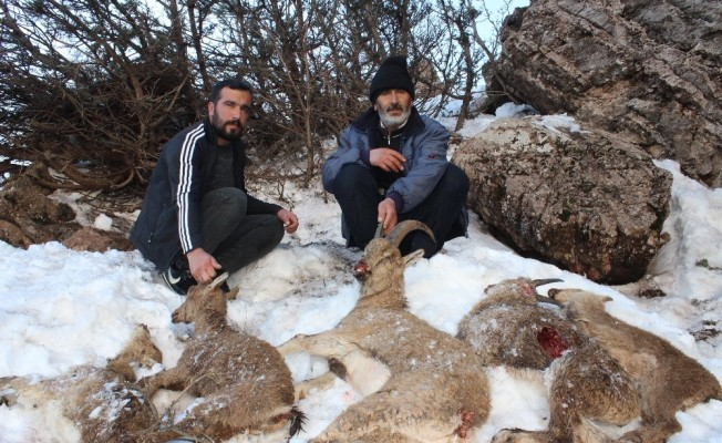 Adıyaman'da 5 yaban keçisi açlıktan ve soğuktan donarak öldü