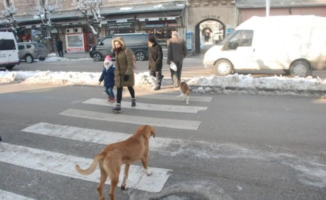 Köpeklerin yaya geçidini kullandığı anlar kameraya yansıdı