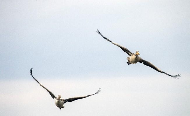 Uluabat Gölü'ndeki kuşları tek tek saydılar