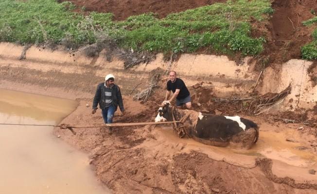 Sulama kanalına düşen ineği itfaiye kurtardı