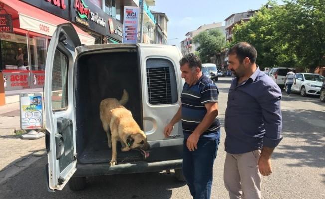Rehabilite edilen köpekler küpeleri takılarak alındıkları yerlere bırakıldı
